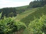 Wineyards - Black Forest - Germany
