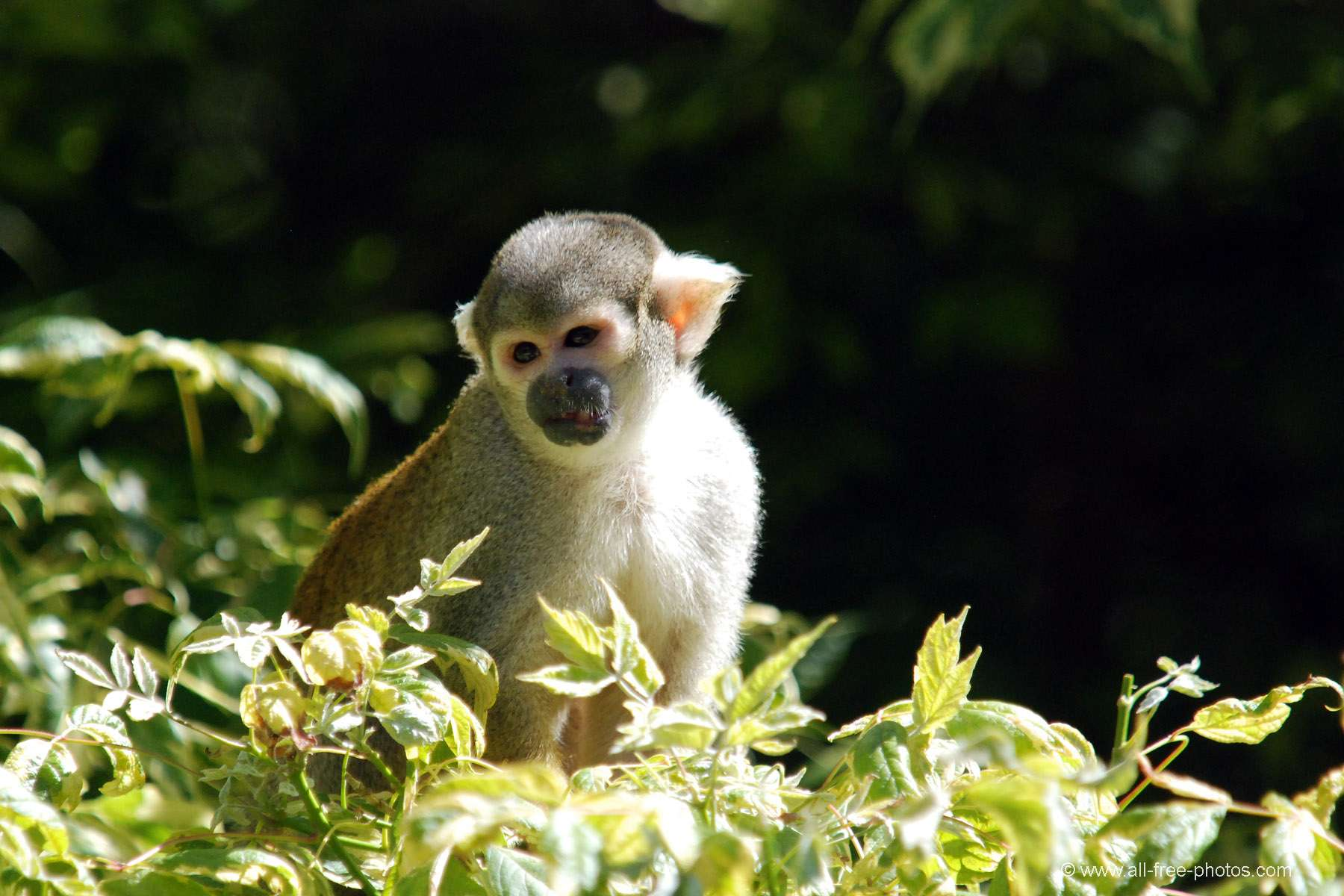 Saimari or Squirrel monkey