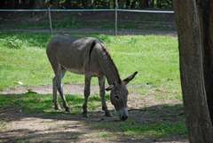 Donkey of Cotentin