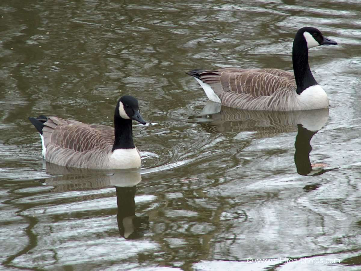 Canadian geese couple