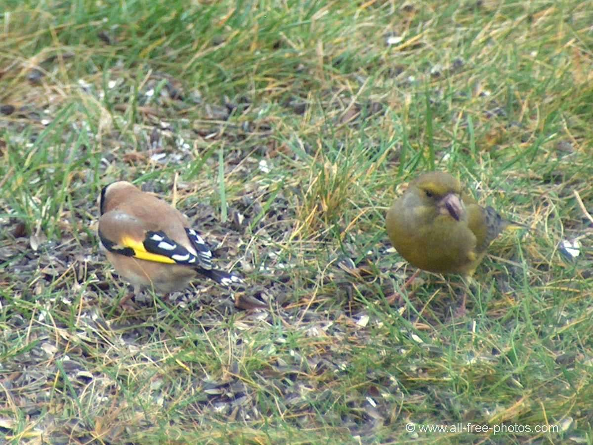 Goldfinch and green chaffinch
