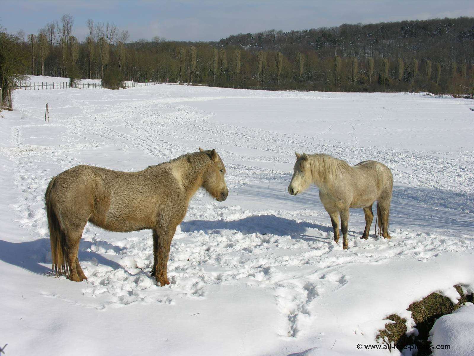 Horses from Camargue
