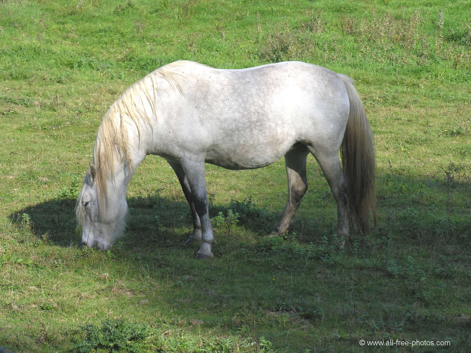 Horse from Camargue