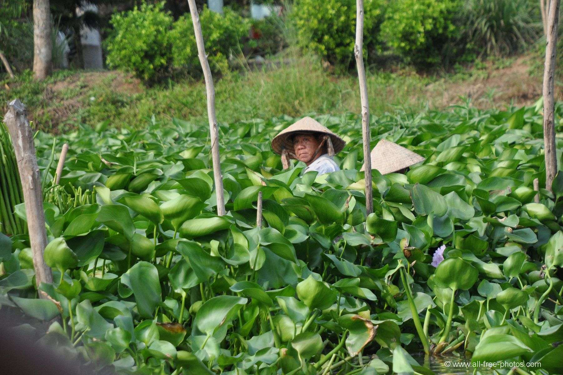 Harvesting of water hyacinth - Vietnam