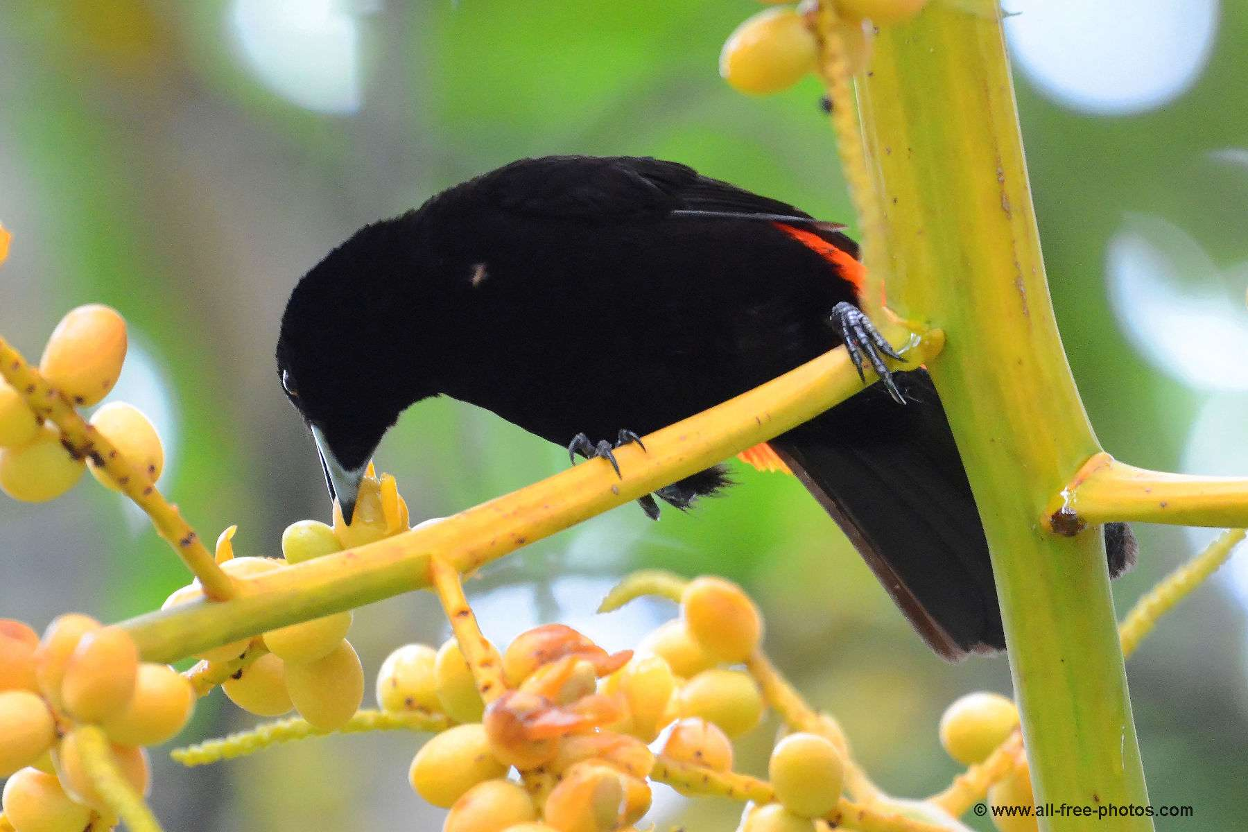 Cherrie's tanager male
