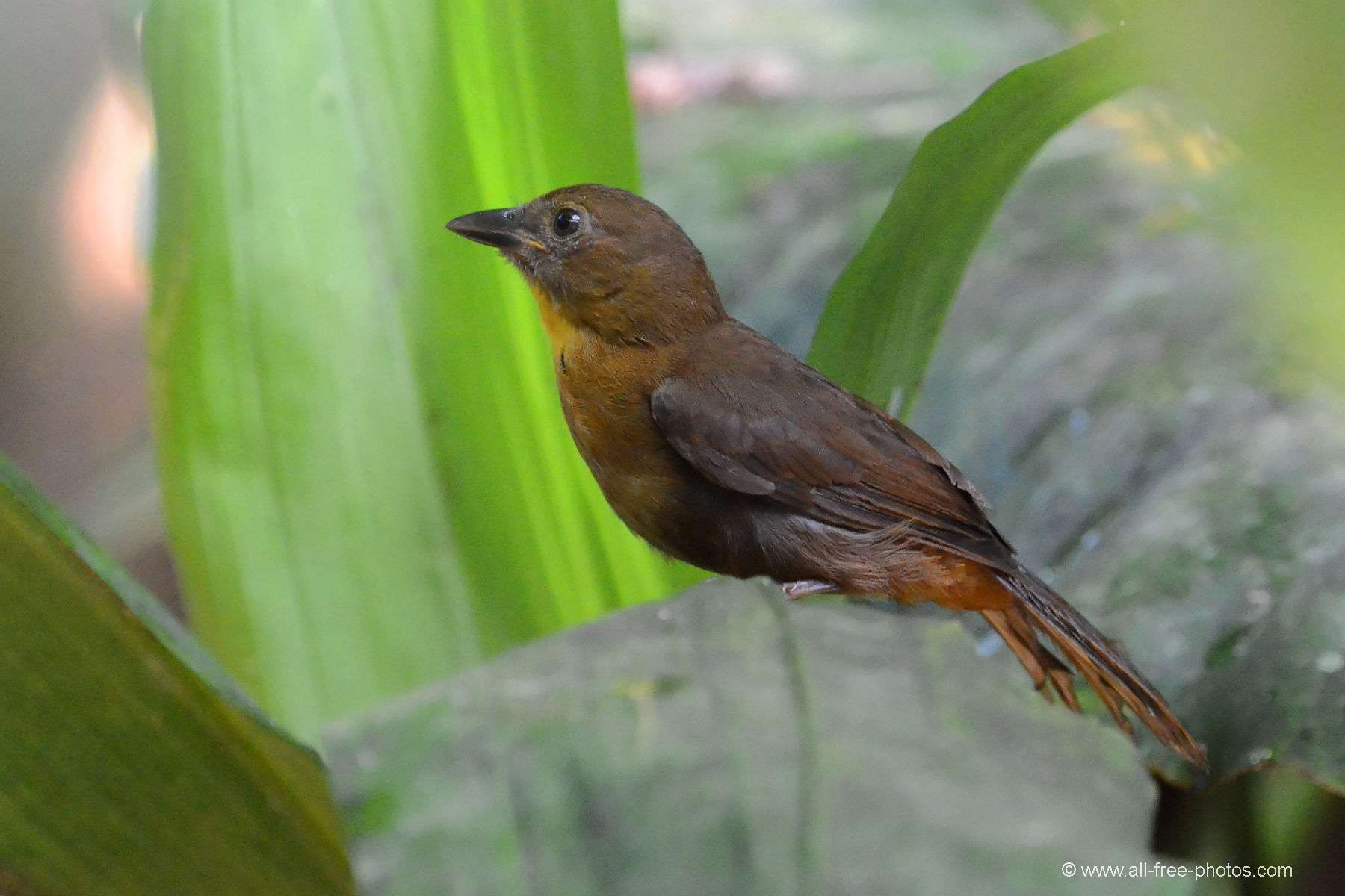 Red-crowned ant tanager female