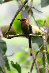 Motmot du Mexique